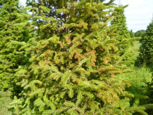 Phytotoxic burn to needles of Frasier fir after a oil spray treatment. Photo credit: SK Rettke of RCE