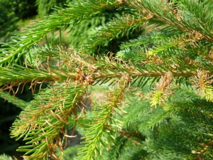 Close-up of Frasier fir needles damaged by an oil spray treatment. Photo credit: SK Rettke of RCE