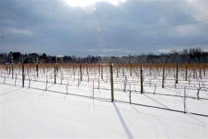 terhune-vines-in-winter