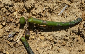Freeze injury in Asparagus