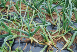 Weakened leaves caused by larvae of allium leafminer