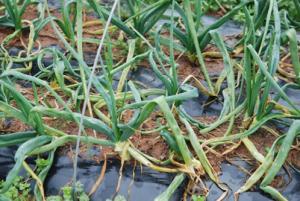 Weakened leaves caused by larvae of allium leafminer