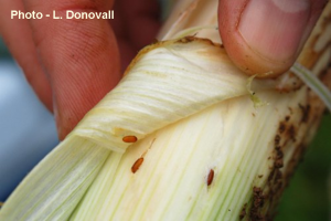 Pupal cases of allium leafminer