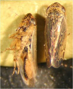 Blunt-nosed leafhopper Adult (Photo by D. Schiffhauer)