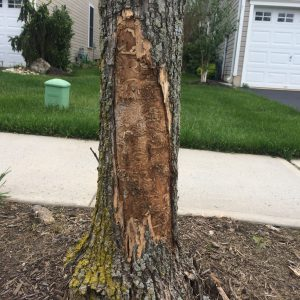 Severe EAB infestation. Photo: Richard Buckley, Rutgers PDL