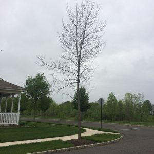 Believe me now? Ash killed by EAB. Photo: Richard Buckley, Rutgers PDL