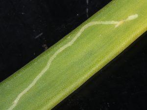 Leaf mine onion
