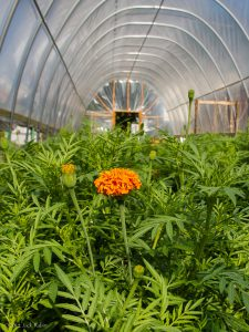 What's your innovation? Pictured here are ethnic observance marigold crops in unheated high tunnels