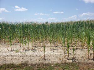 Droughty corn
