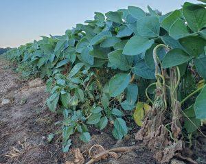 soybean field edge